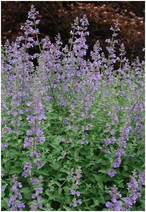 Nepeta faassenii Walker's Low Catmint image credit Northcreek Nurseries