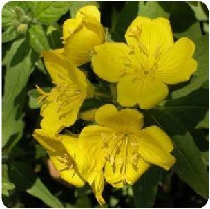 Oenothera fruticosa Youngii Evening Primrose