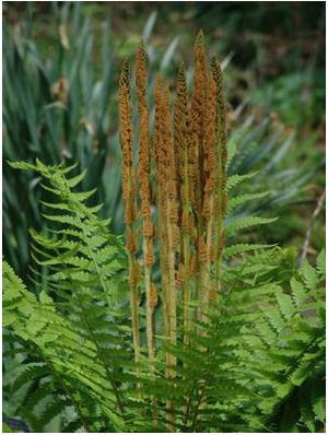 Osmunda cinnamomea Cinnamon Fern Royal Fern image credit Northcreek Nurseries