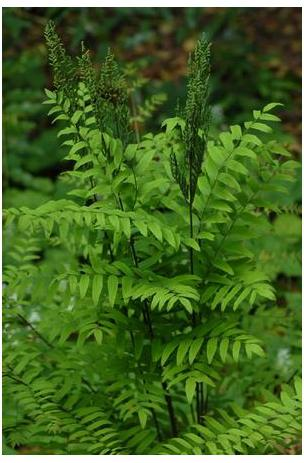 Osmunda regalis Royal Fern Royal Fern