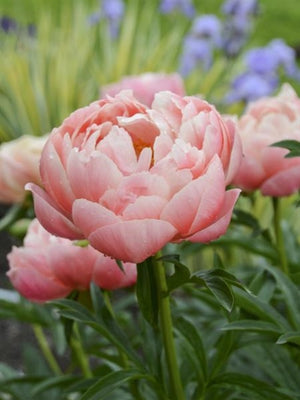 Paeonia hybrid Coral Charm Peony image credit Ball Horticultural Company
