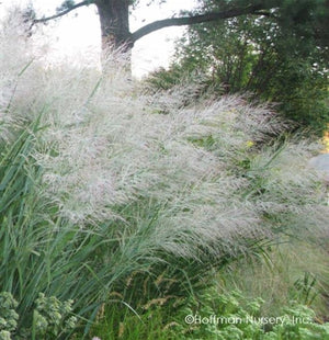 Panicum virgatum Dallas Blue Switch Grass image credit Hoffman Nursery Inc.
