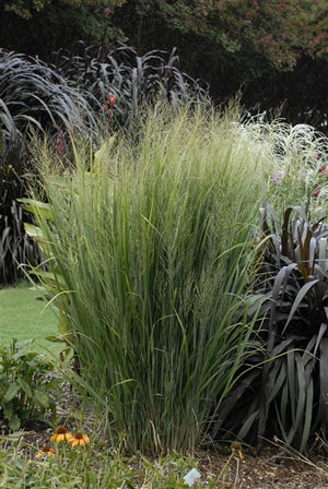 Panicum virgatum Northwind Switch Grass image credit Photo credit: Walters Gardens Inc.