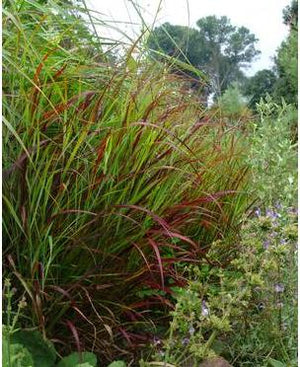 Panicum virgatum Shenandoah Switch Grass image credit Northcreek Nurseries