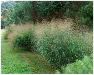 Panicum virgatum Switch Grass image credit Northcreek Nurseries