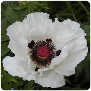 Papaver orientale Royal Wedding Poppy image credit Ball Horticultural Company