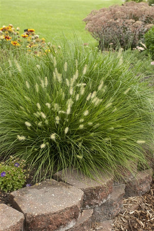 Pennisetum alopecuroides Little Bunny Fountain Grass image credit Photo credit: Walters Gardens Inc.