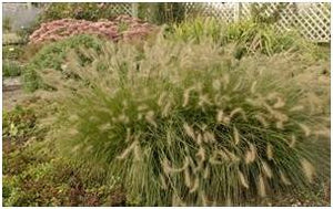 Pennisetum alopecuroides Piglet Fountain Grass image credit Millgrove Perennials