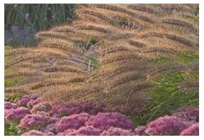Pennisetum alopecuroides Red Head Fountain Grass image credit Walters Gardens Inc