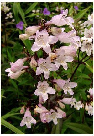Penstemon digitalis Husker Red Bearded Tongue image credit Northcreek Nurseries