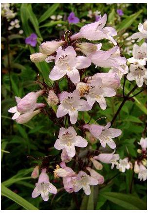 Penstemon digitalis Husker Red Bearded Tongue