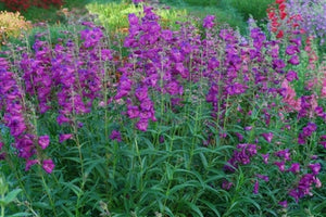 Penstemon schmidel Purple Riding Hood Bearded Tongue image credit Millgrove Perennials