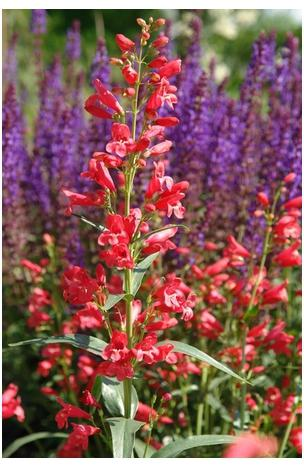 Penstemon schmidel Red Riding Hood Bearded Tongue