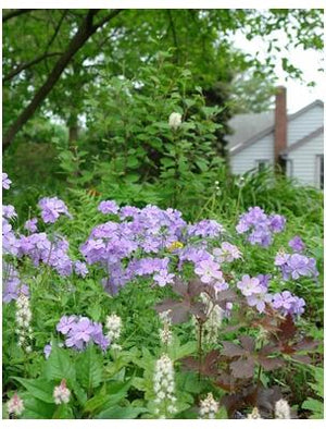 Phlox divaricata Blue Moon Woodland Phlox image credit Northcreek Nurseries