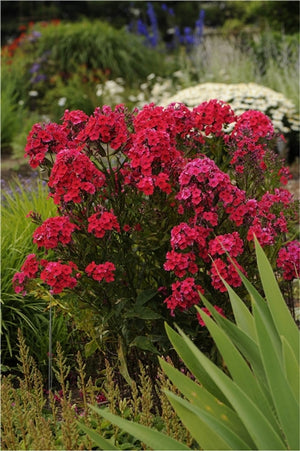 Phlox paniculata Red Riding Hood Garden Phlox image credit Photo credit: Walters Gardens Inc.