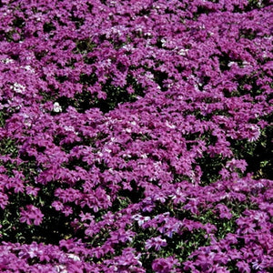 Phlox subulata Red Wings Creeping Phlox image credit Walters Gardens