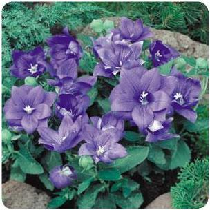 Platycodon grandiflorus Astra Semi-Double Blue Balloon Flower