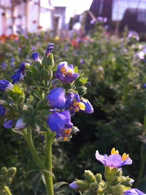 Polemonium boreale Heavenly Habit Jacob's Ladder image credit Millgrove Perennials