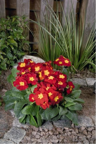 Primula elatior Crescendo Bright Red Primrose