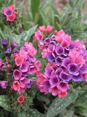 Pulmonaria hybrid Raspberry Splash Lungwort image credit Walters Gardens Inc