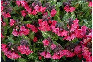 Pulmonaria hybrid Shrimps on the Barbie Lungwort image credit Terra Nova