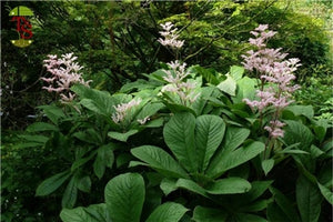 Rodgersia aesculifolia Rodgers Flower image credit Millgrove Perennials