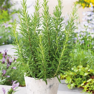 Rosmarinus officinilis Rosemary image credit Millgrove Perennials