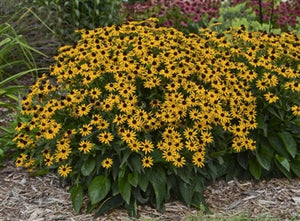 Rudbeckia fulgida Little Goldstar Black-eyed Susan image credit Ball Horticultural Company