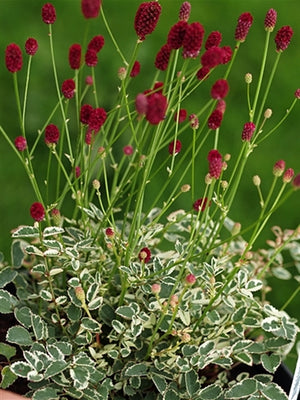Sanguisorba officinalis Little Angel Burnet image credit Millgrove Perennials