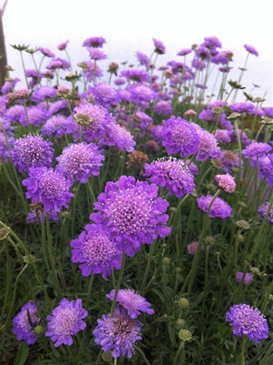 Scabiosa columbaria Butterfly Blue Pincushion Flower image credit Millgrove Perennials