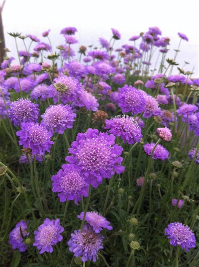 Scabiosa columbaria Butterfly Blue Pincushion Flower