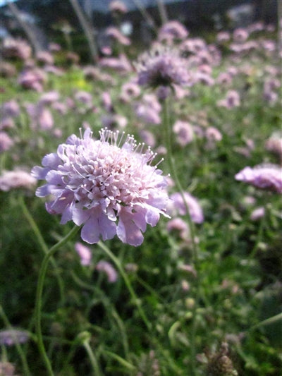 Scabiosa columbaria Pink Mist Pincushion Flower