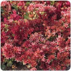 Sedum spurium Red Carpet Stonecrop image credit Ball Horticultural Company