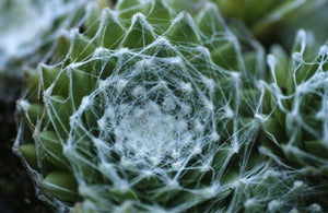Sempervivum arachnoideum Cobweb Buttons Hen's And Chicks image credit Sherman