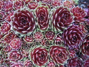 Sempervivum hybrid Commander Hay Hen's And Chicks image credit Millgrove Perennials