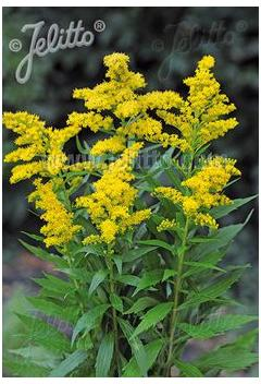 Solidago canadensis Little Miss Sunshine Golden Rod image credit Jelitto