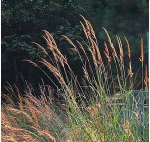 Sorghastrum nutans Indian Grass image credit North Creek Nurseries