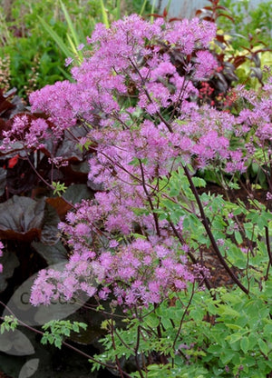 Thalictrum aquilegifolium Black Stockings Meadow Rue image credit Millgrove Perennials