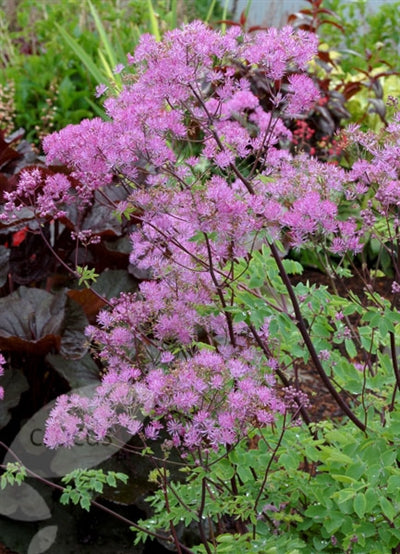 Thalictrum aquilegifolium Black Stockings Meadow Rue