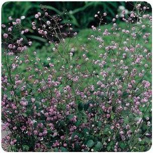 Thalictrum delavayi Hewitt's Double Meadow Rue image credit Ball Horticultural Company
