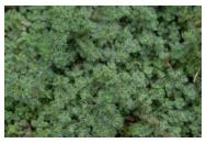 Thymus pseudolanuginosus Woolly Thyme Thyme image credit Ball Horticultural Company