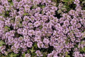 Thymus serphyllum Magic Carpet Thyme image credit Walters Gardens Inc