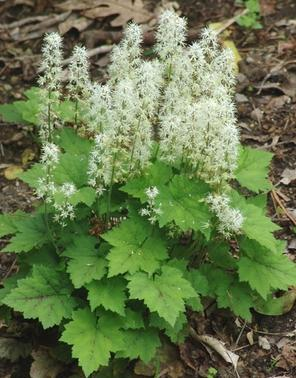 Tiarella cordifolia Foam Flower image credit Northcreek Nurseries