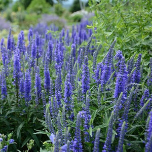 Veronica hybrid Moody Blues- Dark Blue Speedwell image credit Ball Horticulture