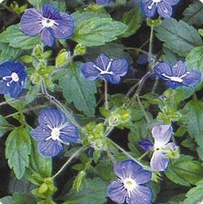 Veronica peduncularis Georgia Blue Speedwell image credit Ball Horticultural Company