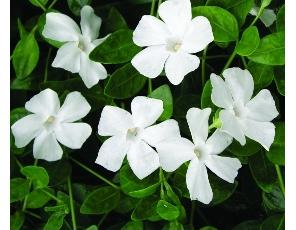 Vinca minor Alba Periwinkle