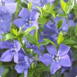 Vinca minor Bowles Periwinkle image credit Ball Horticultural Company