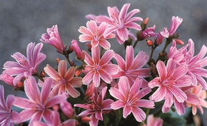 Lewisia cotyledon Little Plum Bitter Root image credit Vanhof and Blokker