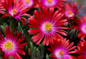 Delosperma (hardy ice plant) cooperi Jewel of the Desert Garnet image credit Ball Horticultural Company
