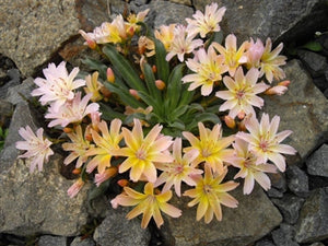 Lewisia longipetala Little Peach Bitter Root image credit Millgrove Perennials